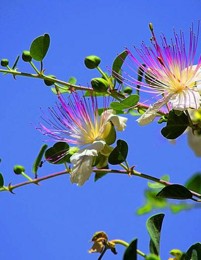 Caper Flowers, Jerusalem