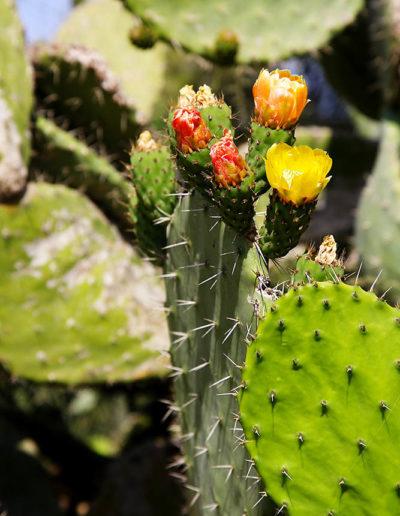 Cactus Flowers, Tzippori