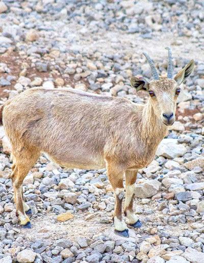 Inconspicuous Ibex, Mitzpe Ramon