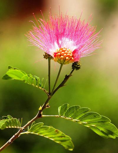 Persian Silk Tree Flower, Tel Aviv